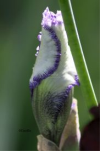 Colorful Iris Flower Bud | Photos and Images | Botanical