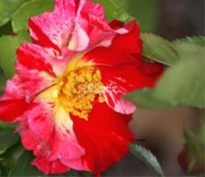 Beautiful Rose Flower Bloom | Photos and Images | Botanical