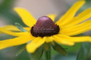 Yellow of the Black Eyed Susan Daisy Flower | Photos and Images | Botanical