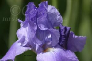 Blue Bearded Iris Flower | Photos and Images | Botanical