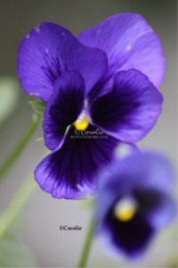 Purple Pansy Flower | Photos and Images | Botanical