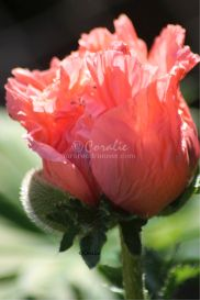 bright colors of the new poppy flower bloom | Photos and Images | Botanical