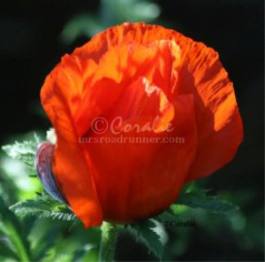 bright orange poppy flower bud | Photos and Images | Botanical