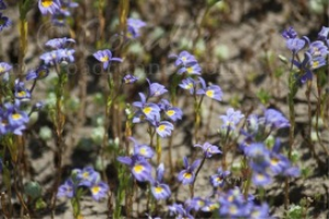 Central Oregon Wild Flowers | Photos and Images | Botanical