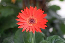 First Additional product image for - Red Chrysanthemum Flower