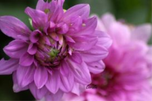 color of the dahlia flower bloom | Photos and Images | Botanical