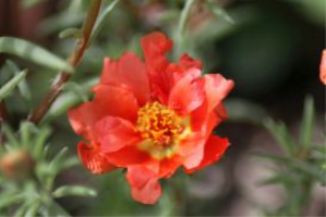 Red Moss Rose Flower | Photos and Images | Botanical