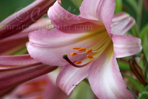 Colors Of The Lily Flower Bloom | Photos and Images | Botanical