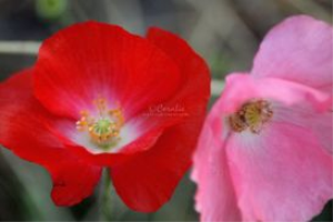 Red and Pink Poppy Flowers | Photos and Images | Botanical