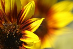 Colors of the Sunflower | Photos and Images | Botanical