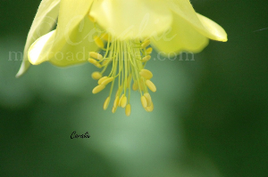 Micro Columbine Yellow Flower | Photos and Images | Botanical