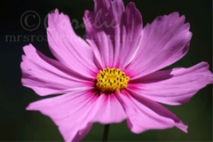Pink Cosmos Flower Micro in Black | Photos and Images | Botanical
