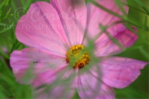 Soft Pink Cosmos Flower Bloom | Photos and Images | Botanical