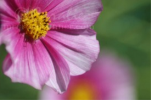 Pink and White Cosmos Flower | Photos and Images | Botanical