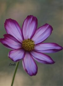Cosmos Flower | Photos and Images | Botanical
