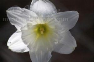 Daffodil Flower In White | Photos and Images | Botanical