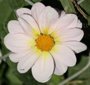 Soft Pink Dahlia Bloom   Photos and Images   Botanical