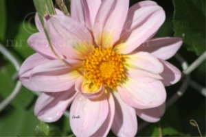 Pink of the Dahlia Flower | Photos and Images | Botanical