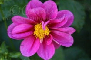 Dark Pink Dahlia Bloom | Photos and Images | Botanical