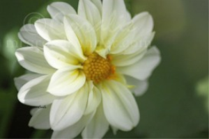 White Yellow Dahlia Flower | Photos and Images | Botanical