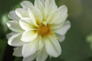 White Yellow Dahlia Flower | Photos and Images | Botanical