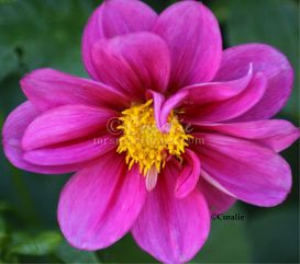 Dark Pink Dahlia Flower Bloom | Photos and Images | Botanical