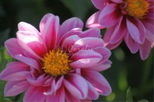 Dark Pink Light Pink Dahlia Flower | Photos and Images | Botanical