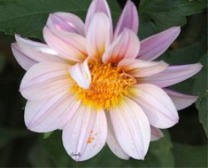 Soft Colors Of The Dahlia Flower | Photos and Images | Botanical