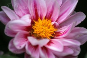Two Colors Of Pink Dahlia Flowers | Photos and Images | Botanical