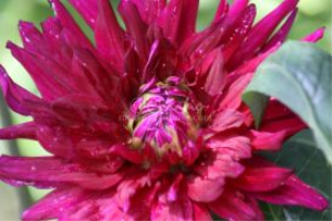 Red Dahlia Flower Bloom | Photos and Images | Botanical
