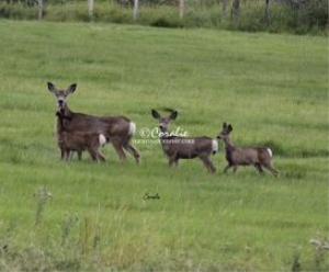 Mule Deer Doe Three Fawns | Photos and Images | Animals