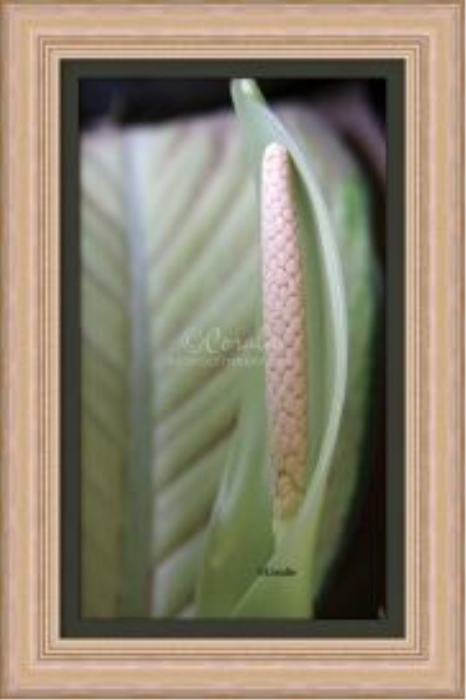 First Additional product image for - Dieffenbachia Plant Flower Bloom