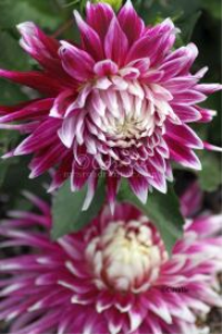 flashy colors of the dahlia flower bloom | Photos and Images | Botanical