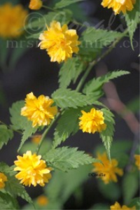 Fluffy Yellow Flower Blooms | Photos and Images | Botanical