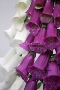Dark Pink and White Foxglove Flowers | Photos and Images | Botanical