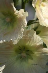 Light Peach Colored Hollyhock Flowers | Photos and Images | Botanical