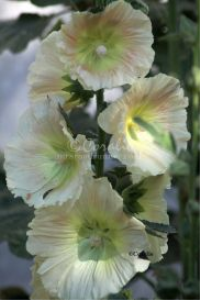 Light Colors of The Hollyhock Flowers | Photos and Images | Botanical