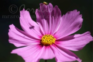 Hoverfly Shadow on a Cosmos Flower Bloom | Photos and Images | Animals
