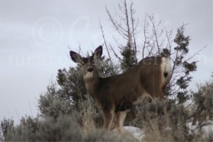Mule Deer Looking Down At Us | Photos and Images | Animals