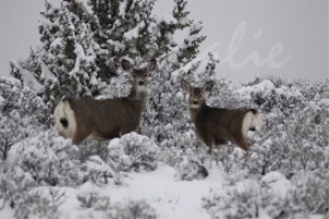 Mule Deer In The Snow | Photos and Images | Animals