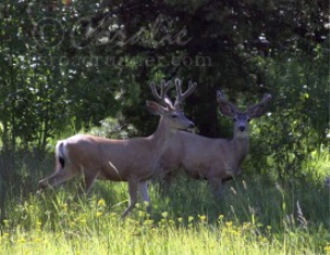 Mule Deer Bucks | Photos and Images | Animals