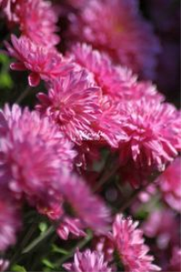 Pink Mum Flower Blooms | Photos and Images | Botanical