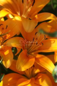 Orange Lily Flowers | Photos and Images | Botanical