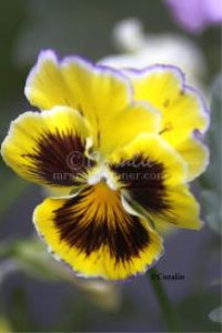 Flashy Pansy Flower | Photos and Images | Botanical