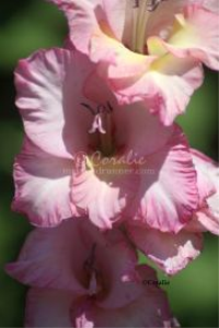 Pink Glad Flowers | Photos and Images | Botanical