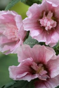 Pink Hollyhock Flowers | Photos and Images | Botanical