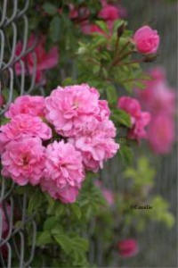 Pink Rose Flowers | Photos and Images | Botanical