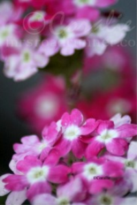 Pink White Verbena Flowers   Photos and Images   Botanical