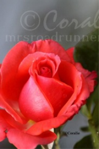 rose flower | Photos and Images | Botanical
