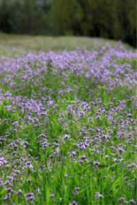 sea of purple flowers | Photos and Images | Botanical
